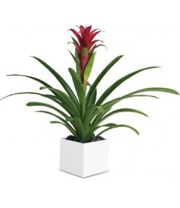 Bromeliad Beauty